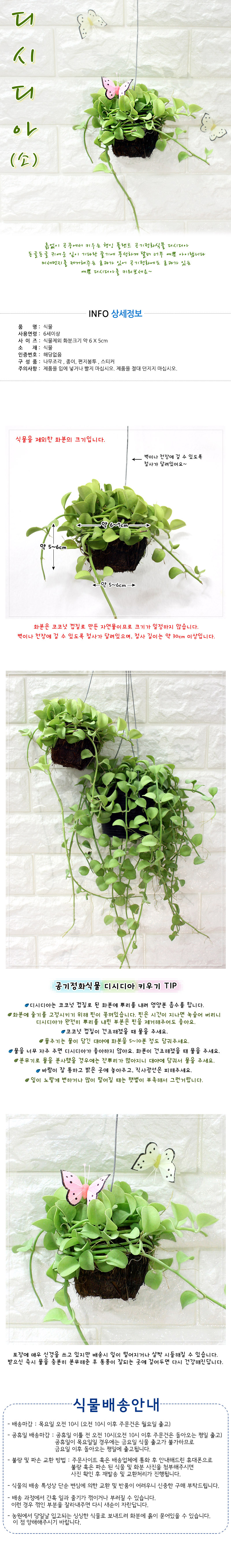 공기정화식물-디시디아(소) - 에코키즈, 8,000원, 허브/다육/선인장, 공기정화식물