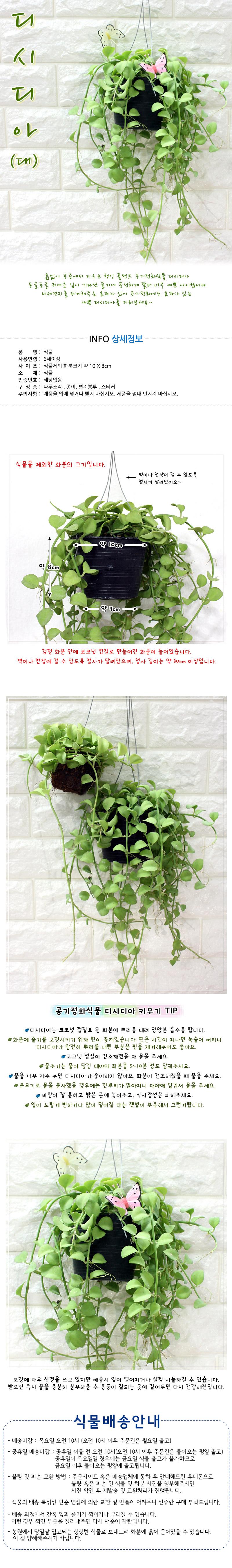 공기정화식물-디시디아(대) - 에코키즈, 12,000원, 허브/다육/선인장, 공기정화식물