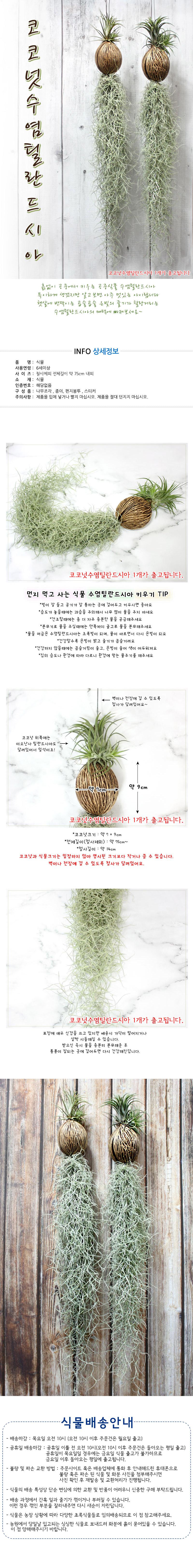 공기정화식물-코코넛수염틸란드시아 - 에코키즈, 12,000원, 허브/다육/선인장, 공기정화식물